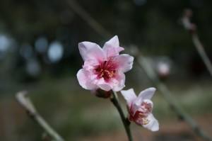 Mandys-peach-blossom-300x199