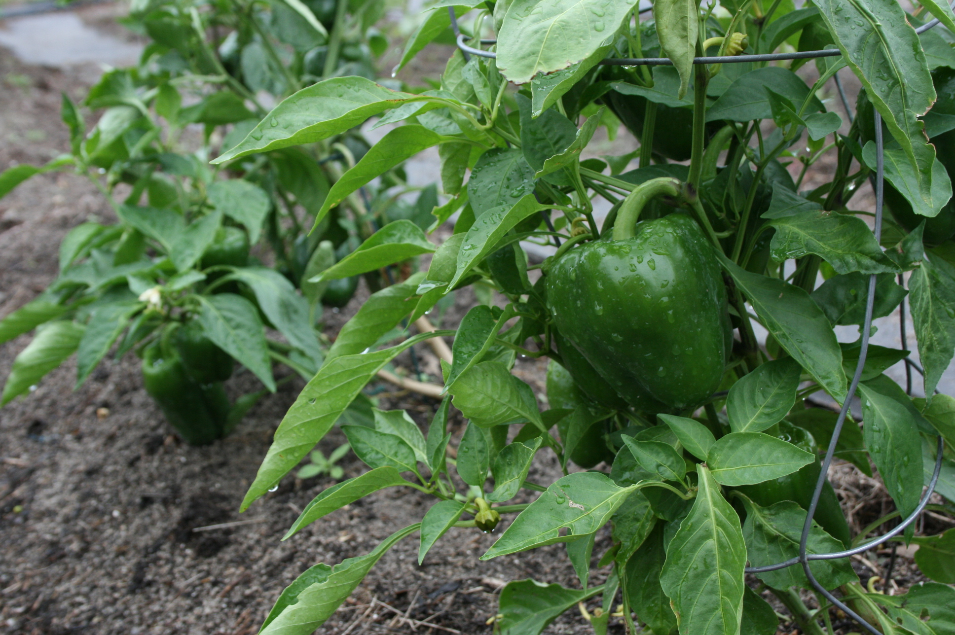 green-pepper-beauties